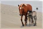 Photographer In The Lens, Bill Birkemeier: Note Card Wild Mustangs Mom and Foal Beach Color