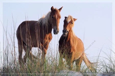 Photographer In The Lens, Bill Birkemeier: Art Print Wild Mustang Pair on the Beach Color