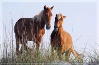 Photographer In The Lens, Bill Birkemeier: Note Card Wild Mustang Pair on the Beach Color