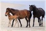 Photographer In the Lens, Bill Birkemeier: Note Card Wild Mustang Family Beach Color