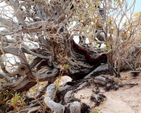 Art Photographer Cindy Quigley: N Ancient Manzanita Past Featured Artist