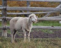 Art Photographer Cindy Quigley: H Ewe Looking At Me Past Featured Artist