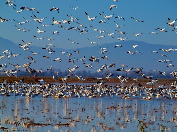 Art Photographer Cindy Quigley: J Snow Geese Past Featured Artist